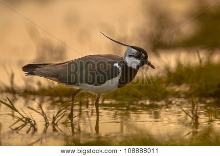 Male Northern Lapwing Sillhouette