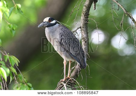 Yellow-crowned Night-heron (nyctanassa Violacea) In A Tree
