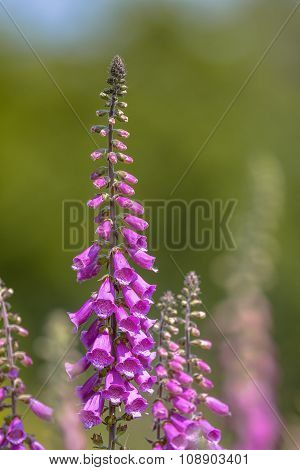 Common Foxglove Woodland Edge