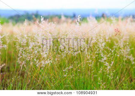 Pink Poaceae Grass Flower