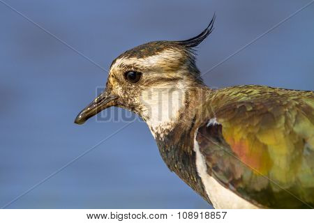 Head Close Up Northern Lapwing