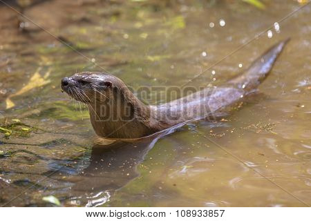 European Otter Preparing To Get Out Of From Water