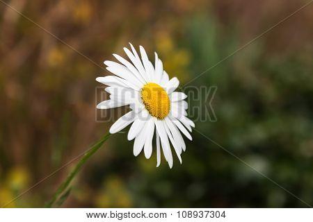 White Daisy Flower., Daisy Flower In Garden., Soft Focus