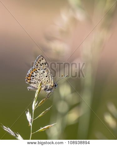 Sooty Copper Butterfly Resting On Grass With Green And Pink Background