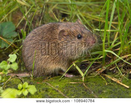 Vield Vole (microtus Agrestis)