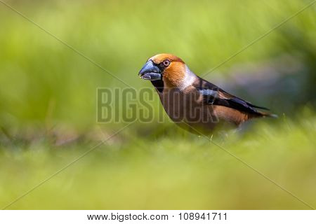Hawfinch Walking In A Green Grass Field