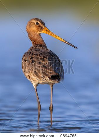 Black Tailed Godwit Looking Backward