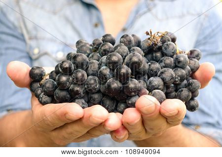 Young Man Is Holding A Cluster Of Bio San Giovese Grape In Italy, For The Grape Harvesting - Bio Fru