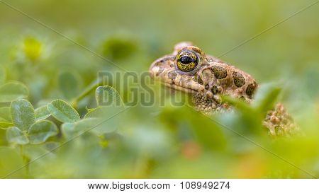 Green Toad Peeking From Grass
