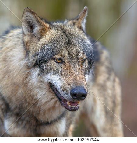 Portrait Of A Threathening Grey Wolf