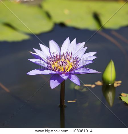 Purple Waterlilly Or Lotus