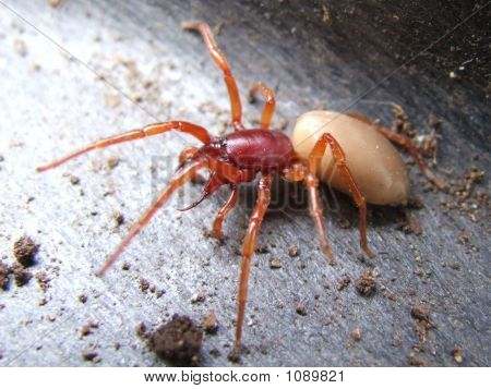 Male Woodhouse Spider