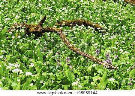 Sunny Spring Day Many Wild Garlic Flowers