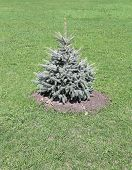 Young planted seedling blue spruce in summer day poster
