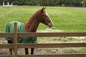 A brown horse behind a wooden fence in a large stable poster