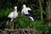 two wild white storks in the nest poster