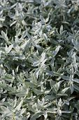 Jaskolka felt (Cer?stium toment?sum). The silvery leaves of a plant close up poster