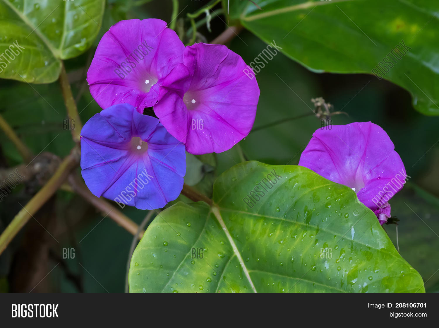 Closeup colorful ocean blue morning image photo bigstock closeup colorful ocean blue morning glory flower in blue purple color known as koali awa izmirmasajfo Choice Image