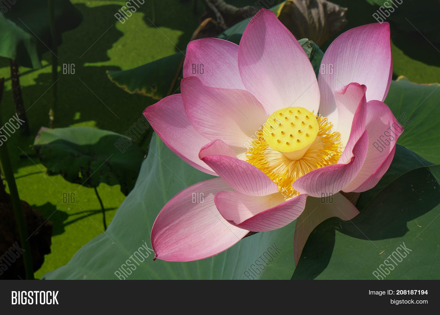 This beautiful pink image photo free trial bigstock this beautiful pink lotus flower is rich colors of the big green leaf its nice izmirmasajfo