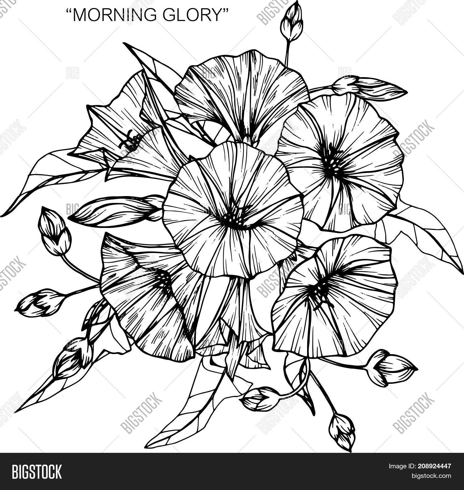 Bouquet of morning glory flowers drawing black and white with line art illustration
