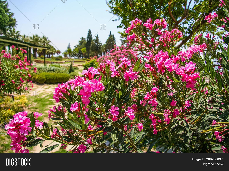 Oleander Beautiful Image Photo Free Trial Bigstock