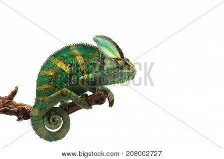 tree Veiled Chameleon isolated on white background