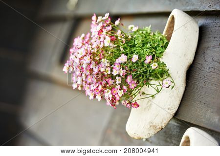 Traditional dutch wooden shoe clog with fresh flower