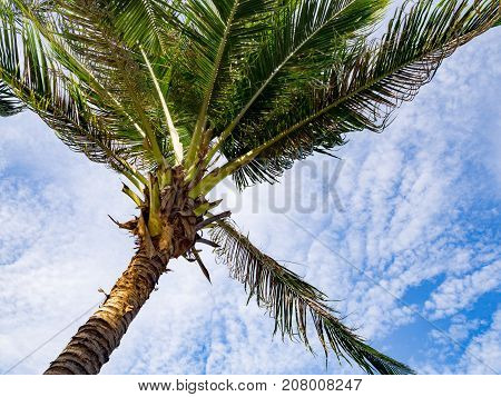Windy coconut palm tree against with blue sky and white cloud