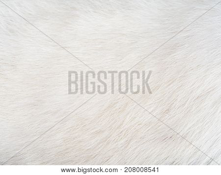 Texture of soft white cat hair for background.