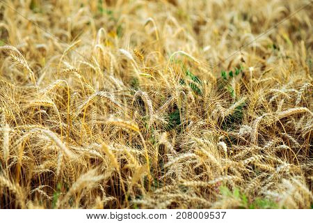 A close-up of wheat in the field. In summer, in bright sunlight. Beautiful landscape of nature. The concept of a rich harvest. The background of a ripening meadow mushroom.
