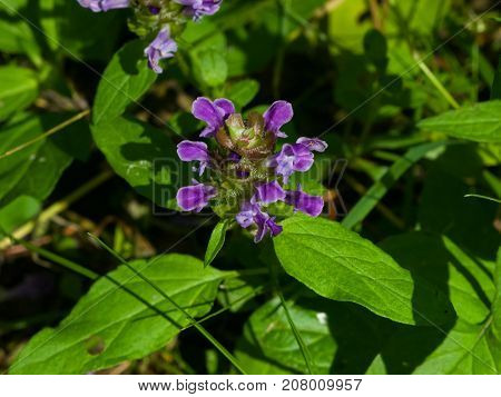 Common Self-Heal or Heal-All Prunella Vulgaris flower and leaves macro selective focus shallow DOF