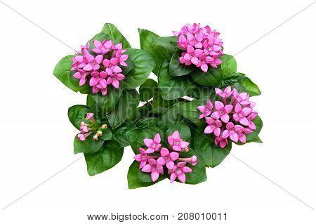 blooming plant isolated on white background. horizontal photo.