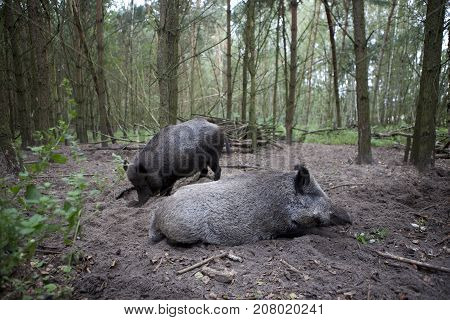 Two Wild Boars In The Forest