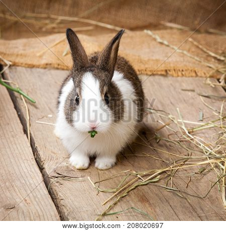 one young rabbit on a wooden background