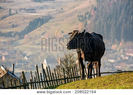 Black Cow On Grassy Hillside Above The Village