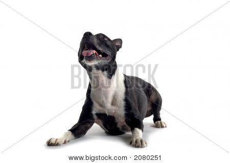 Bull Terrier looking up ready to jump isolated on a white background poster