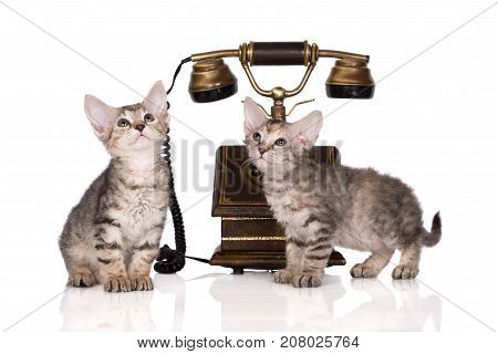 two tabby kittens posing together on white background
