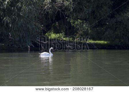 Beautiful swan swimming in the river Danube
