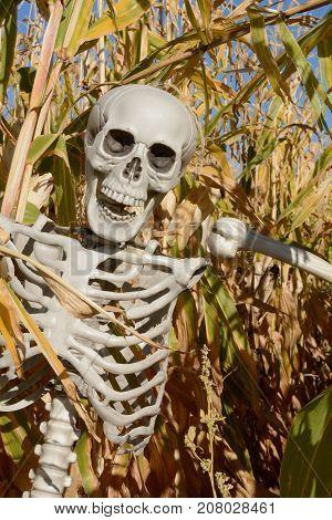Halloween skeleton in corn stalks in corn field
