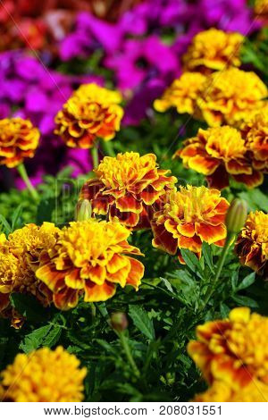 A group of yellow round flowers in a flowerbed.