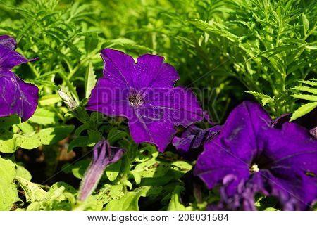 Large purple flowers in the flowerbed.