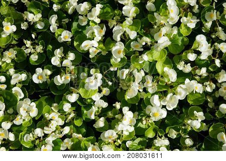 Small white flowers with green leaves on the flowerbed.
