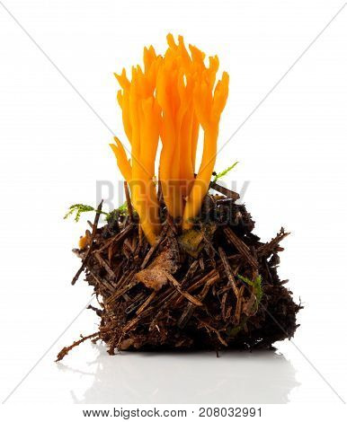 Calocera viscosa commonly known as the yellow stagshorn is a jelly fungus a member of the Dacrymycetales.