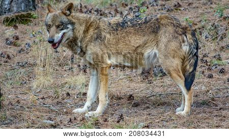 Profile view of Canis Lupus Signatus in a pine tree forest