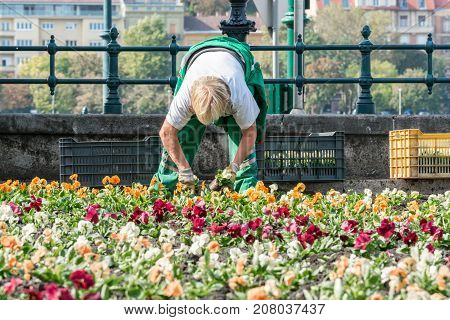 Female garden worker planting flowers. Budapest Hungary - September 27 2017: Low angle front view of a caucasian female garden worker who plants colorful flowers in a flowerbed in Budapest Hungary to embellish a public area in the city next to the Danube