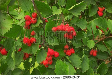 Look beautiful hawthorn berries on shrub in September