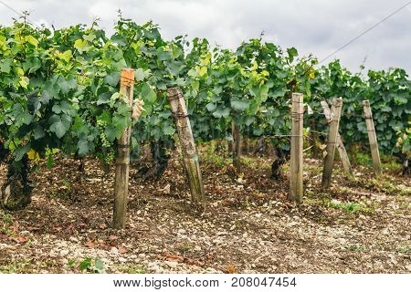 Many grape grow in a field in neat rows grapes are tied winemaking in France