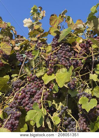 Beautiful tasty red grapes growing on a vine outdoors against a blue sky on a sunny day