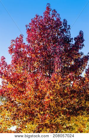 Autumn treetop covered in dried leaves from shades of golden yellow to red color as fall season tree background