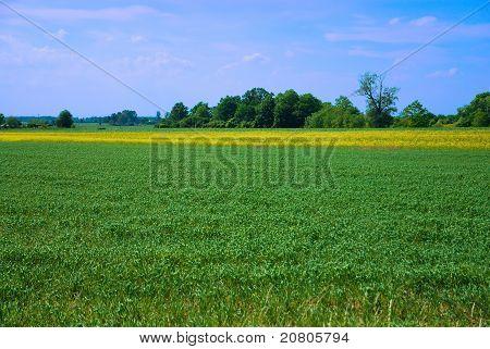 Löwenzahn Feld gegen blau bewölktem Himmel